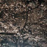 福岡城のさくらまつり